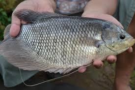 Ikan Gurame Standar -