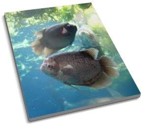 Merawat Kolam dan Memelihara Ikan Gurame