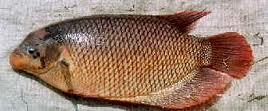 induk-ikan-gurame